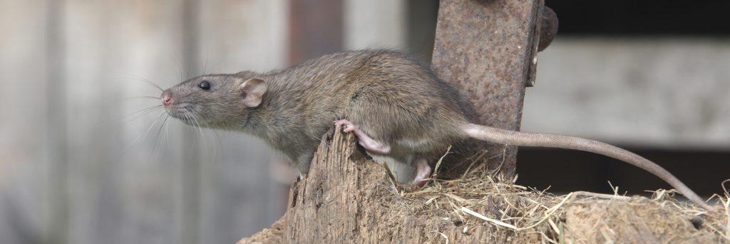 Rat in Your Kitchen