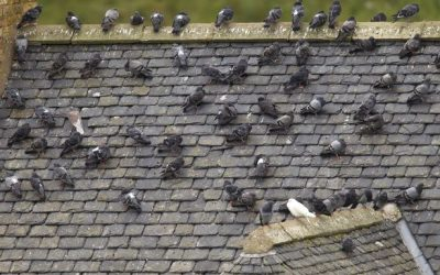 Almost half of feral pigeons carry infectious disease, BPCA warns