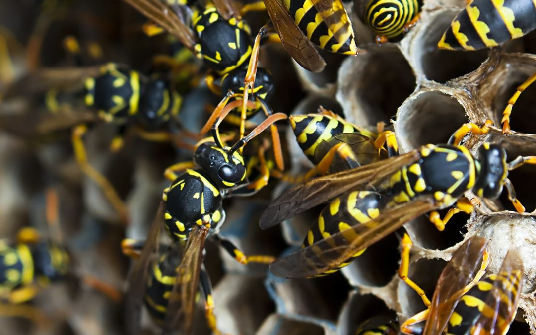 'Watch out for wasps' says BPCA member Bayer