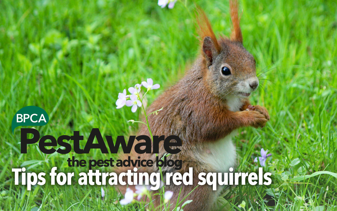 PestAware: Tips for attracting red squirrels