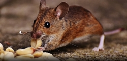Pest advice for controlling Mice